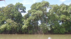 Rhizophora di sepanjang sungai